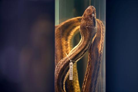 Fosil četveronožne zmije