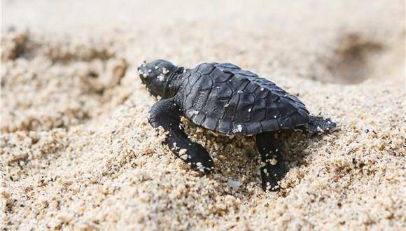 kornjača