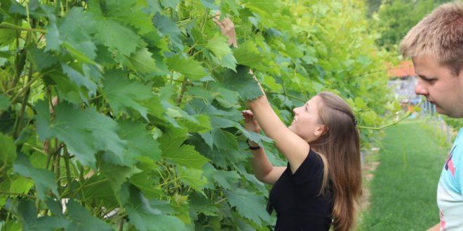 klescec vinograd