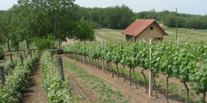 vinograd durdevac