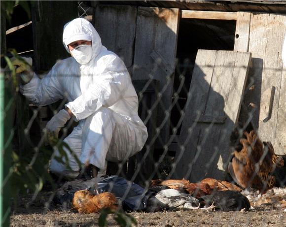 Ptičja gripa u susjedstvu, naređeno klanje još 100.000 peradi