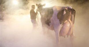 holstein krava