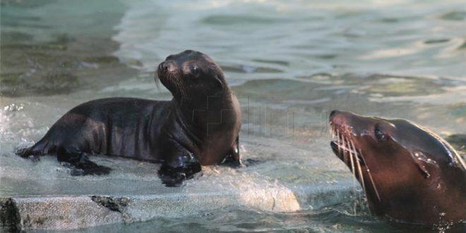 morski lavic