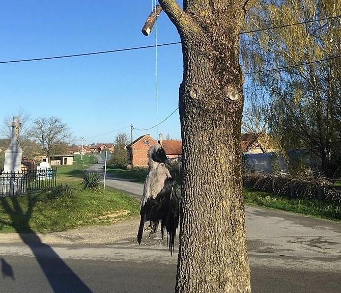 ŠOKIRANI MJEŠTANI CIRKVENE – MORBIDAN ČIN Nepoznati počinitelj objesio vranu na drvetu