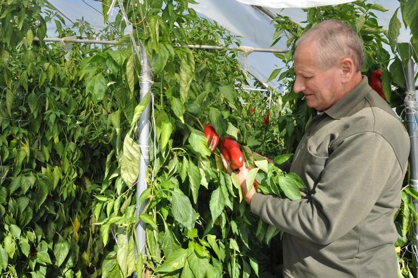 U plastenicima uzgajaju paprike