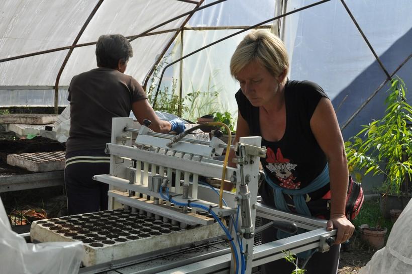 Pakiranje sadnica salate