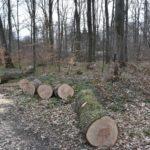 Kod dva križevačka naselja srušili i ukrali stabla bukve i graba