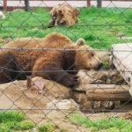 Ministarstvo tvrdi: 'U slučaju Macolinih medvjeda postupano u najboljem interesu životinja'