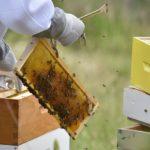 Australski znanstvenici tvrde da otrov pčela uništava agresivne stanice raka dojke