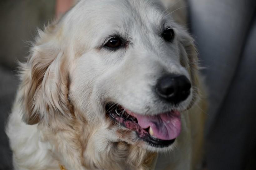 Psi brzo i pouzdano otkrivaju koronavirus i to čak do pet dana prije nego što se pojave simptomi