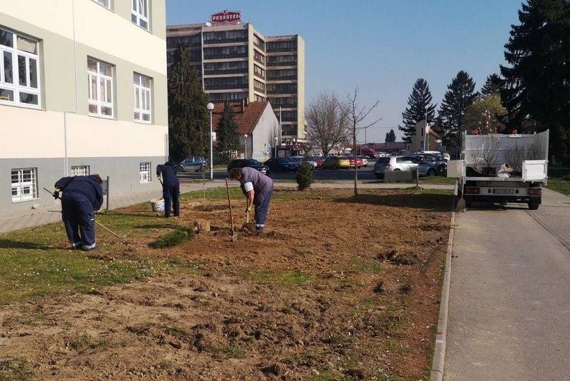 Radnici Komunalca ove godine posadili 93 nova stabla na području Koprivnice
