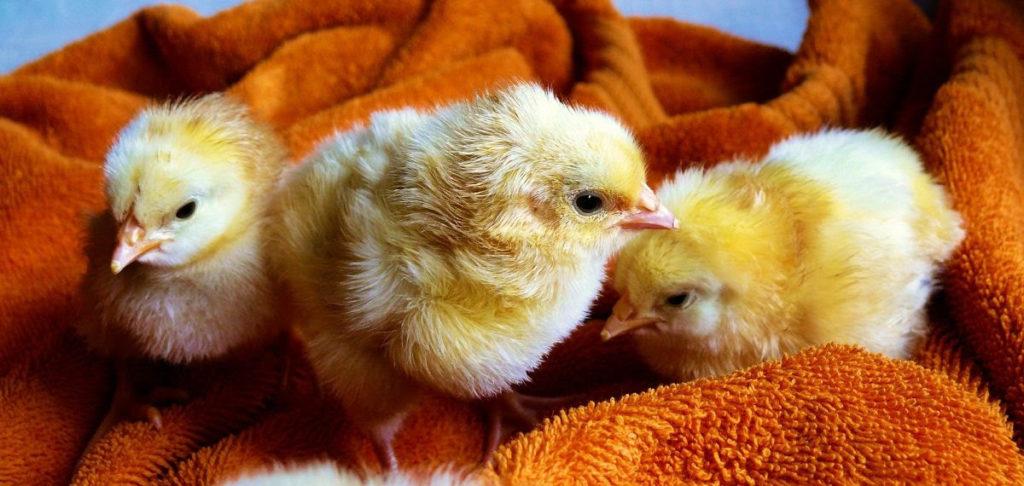 Prijatelji životinja poručuju: Moguće je imati Uskrs bez jaja i mesa, kupovanja kunića i pilića, drvenih umjesto kokošjih jaja