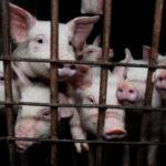 Stočari po utovljenoj svinji gube 600, a junetu i 2500 kn