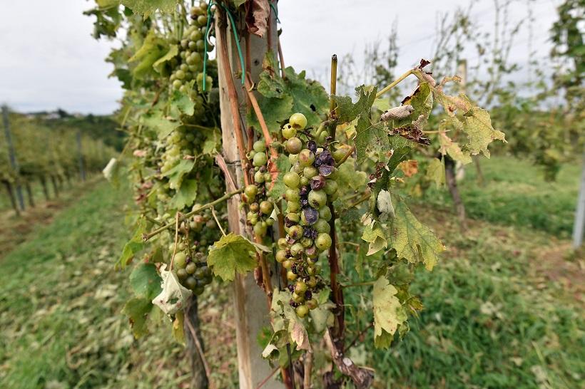 Evo kako izgleda grožđe nakon olujnog nevremena