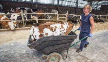 [VIDEO] Krava otelila četiri telića