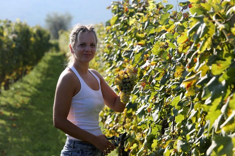 🎦 Počela berba grožđa od kojeg se radi vino žlahtina