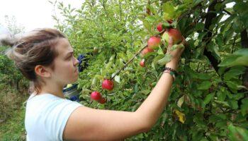 🎦 Počela sezona branja jabuka: 'Voće prodajemo svježe i prerađujemo u destilat i jabučni ocat'
