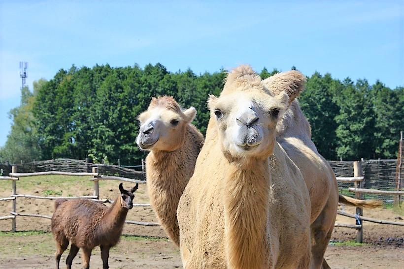 🖼️|🎦 Četiri godine deve uživaju u Đurđevcu, družili smo se s njima u Hrvatskoj sahari