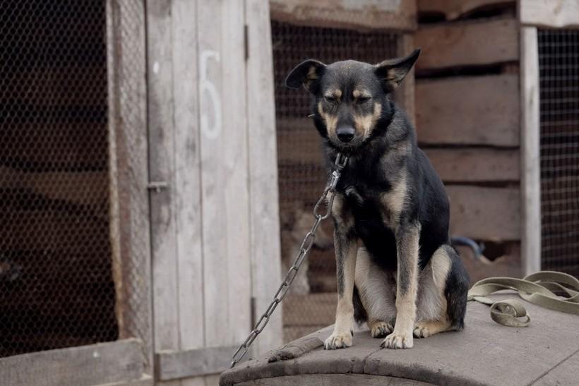 Prijatelji životinja upozoravaju: 'U Njemačkoj obavezne šetnje za pse, a u Hrvatskoj pate na lancu'