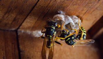 Entomolozi u SAD-u pronašli i uništili prvo gnijezdo divovskih stršljena ubojica