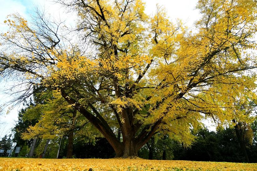Prekrasno daruvarsko drvo sjaji punim sjajem