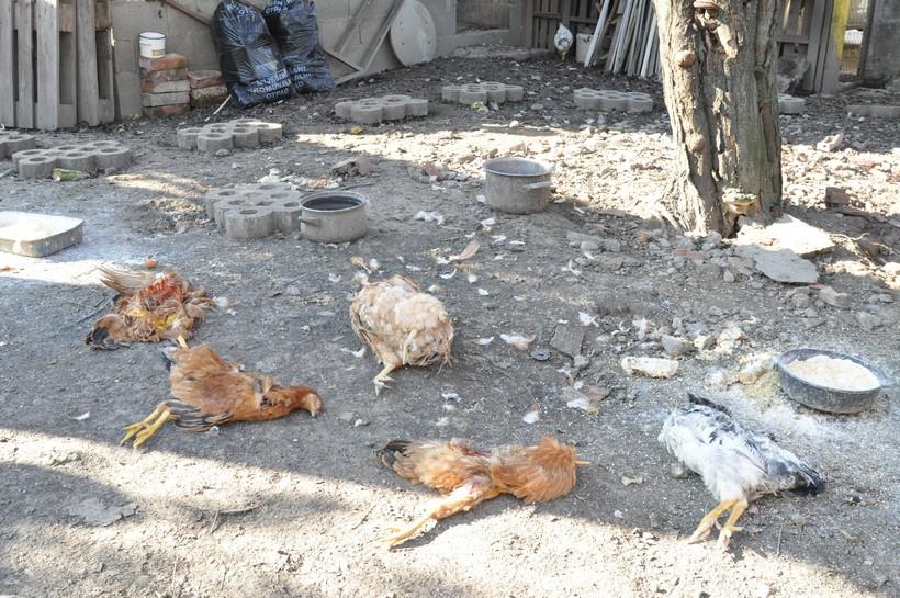 kokoši lisica (2)