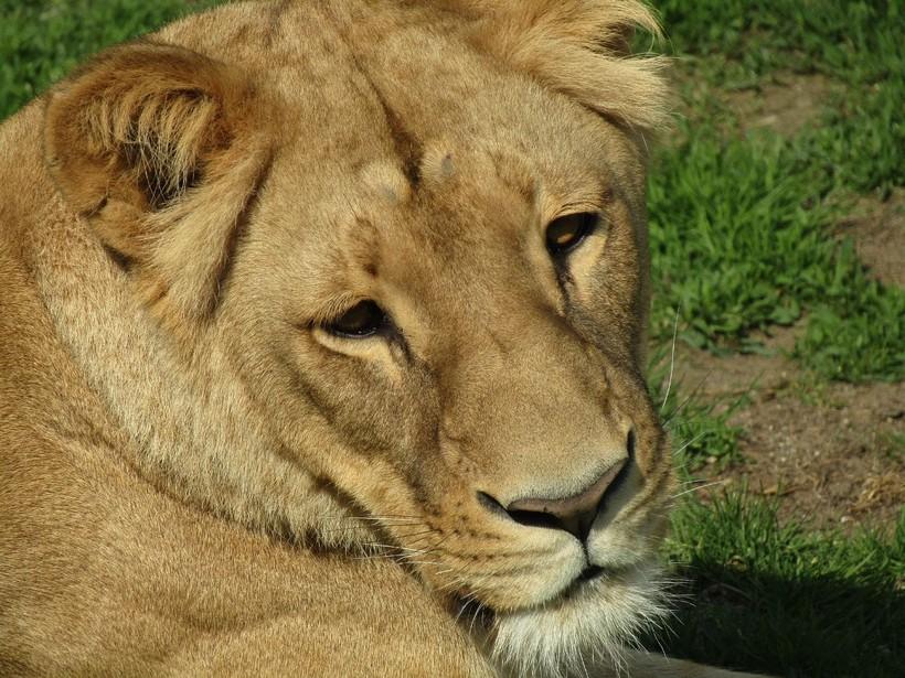 Prijava protiv zoo-vrta: 'Lavica si odgrizla trećinu stopala'