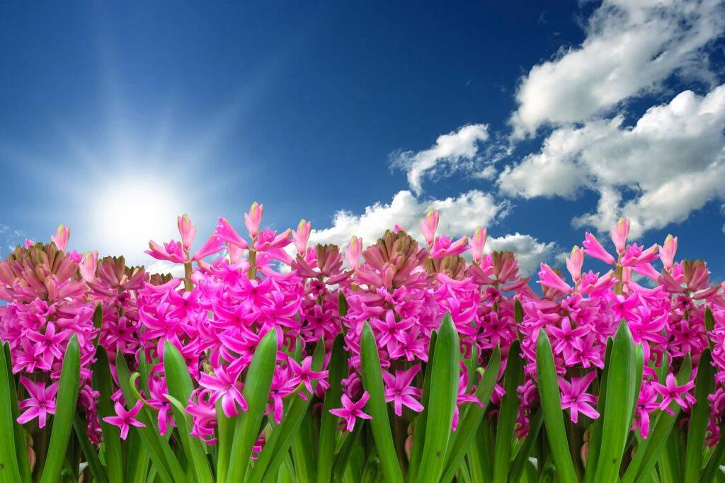 Simbolika cvijeća u kršćanstvu; ljiljan, ruža, zumbul, narcis… svaki ima posebno značenje