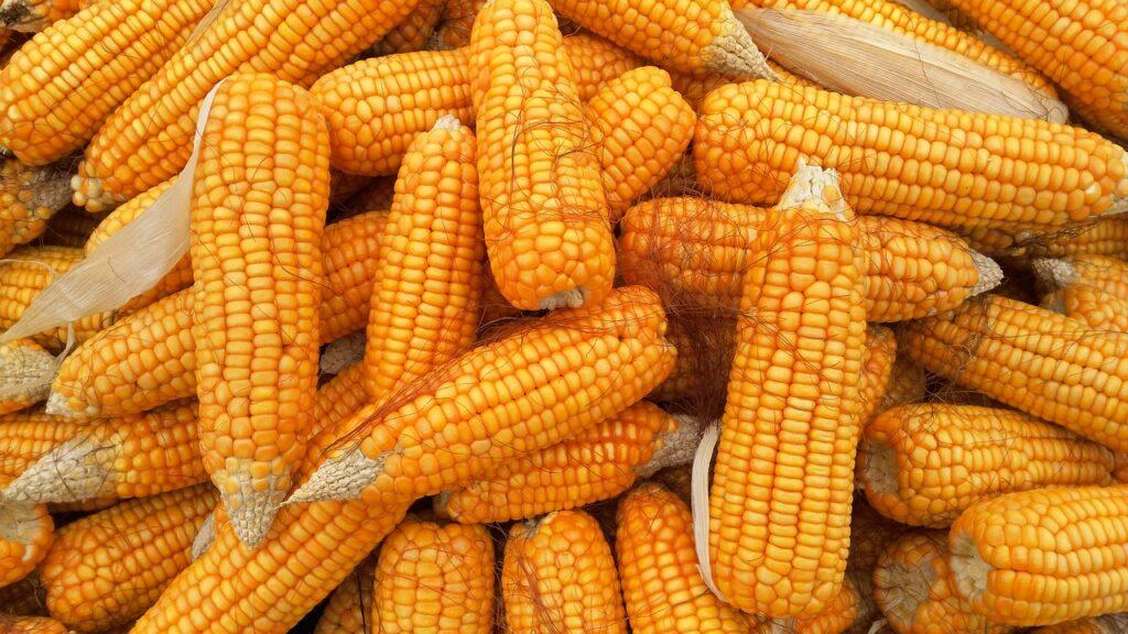 U Hrvatskoj lani proizvedeno ukupno 2,5 milijuna tona kukuruza