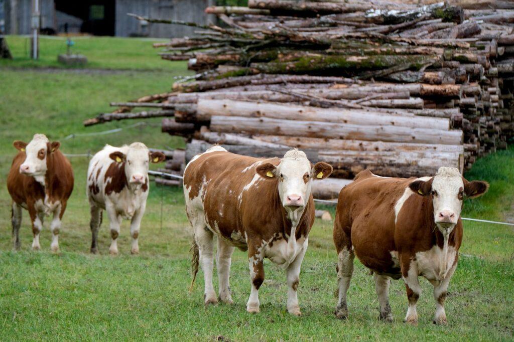 BIZARNO Ženu pregazilo krdo krava, a prije toga su ubile psa