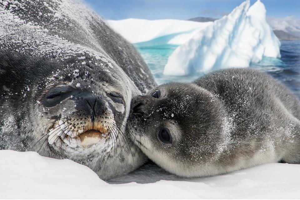 Hrvatska ne sudjeluje u pokolju tuljana već 15 godina!