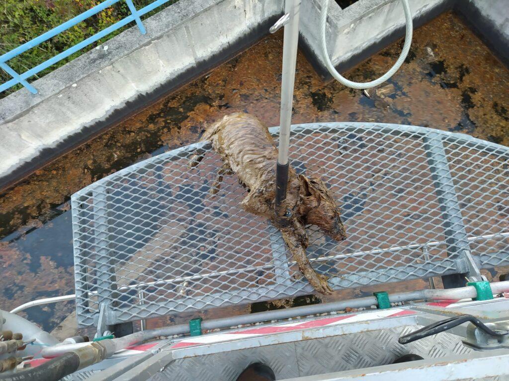 Spašena lisica iz bazena s otpadnim uljem DIOKI-ja